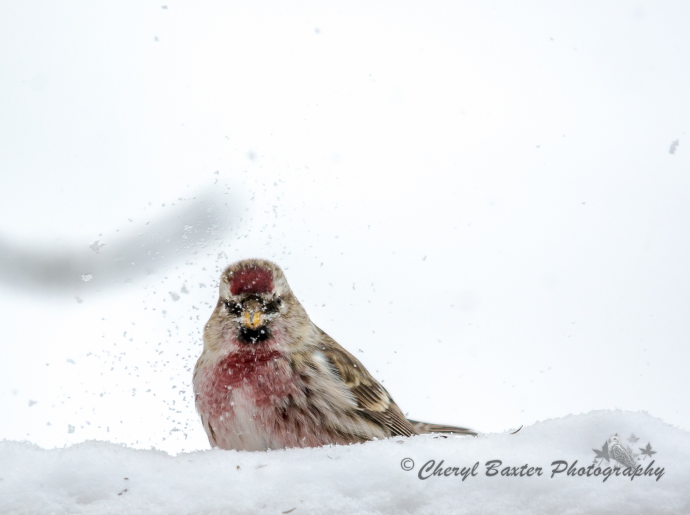 Common Redpoll (male) Eating some snow. (my yard)