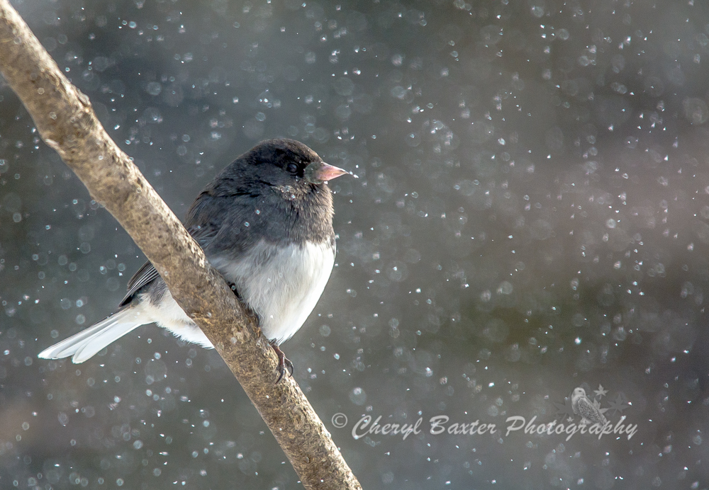 Junco in the snow. (my yard)