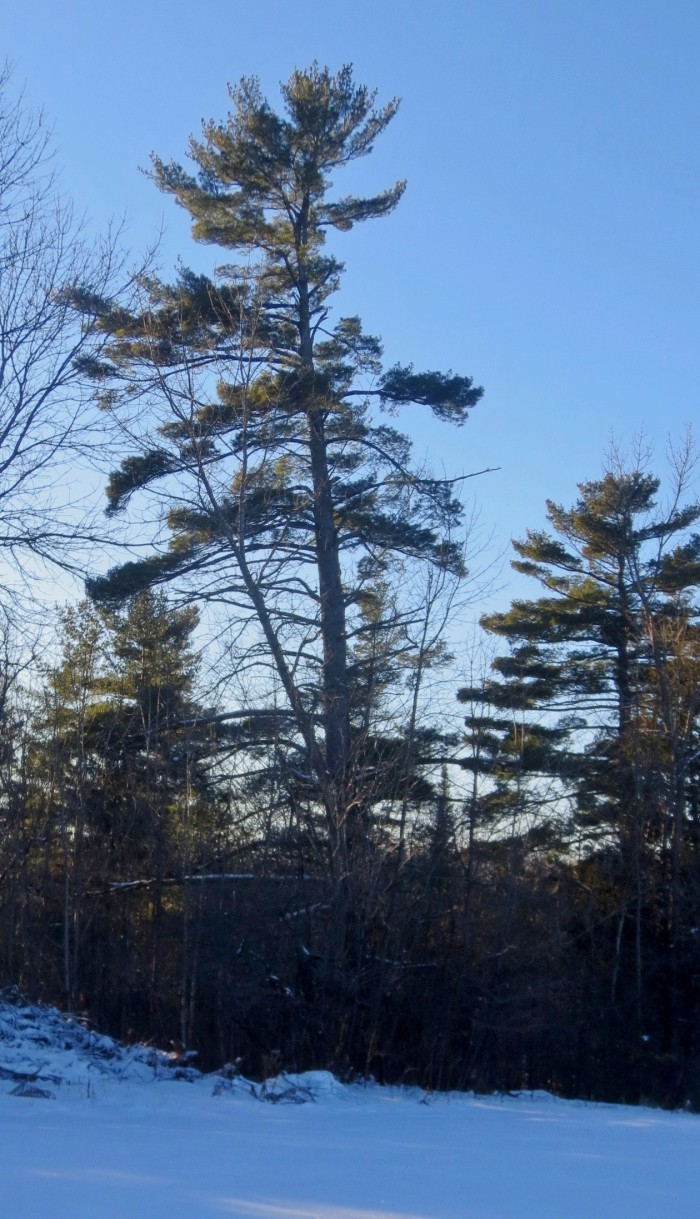 Eastern white pine is common in the forest of Gemmill Park. Its shape depends on where the tree is growing. In an open field, or along a field edge, white pine usually has a straight uniform trunk with wide branches along the middle portion. The branches near the top curve upwards, creating an oval silhouette.