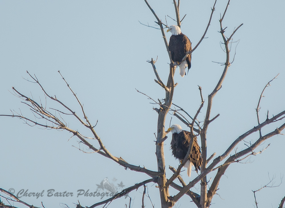 Pair of Bald Eagles (Off the 29 near the Mississippi River)