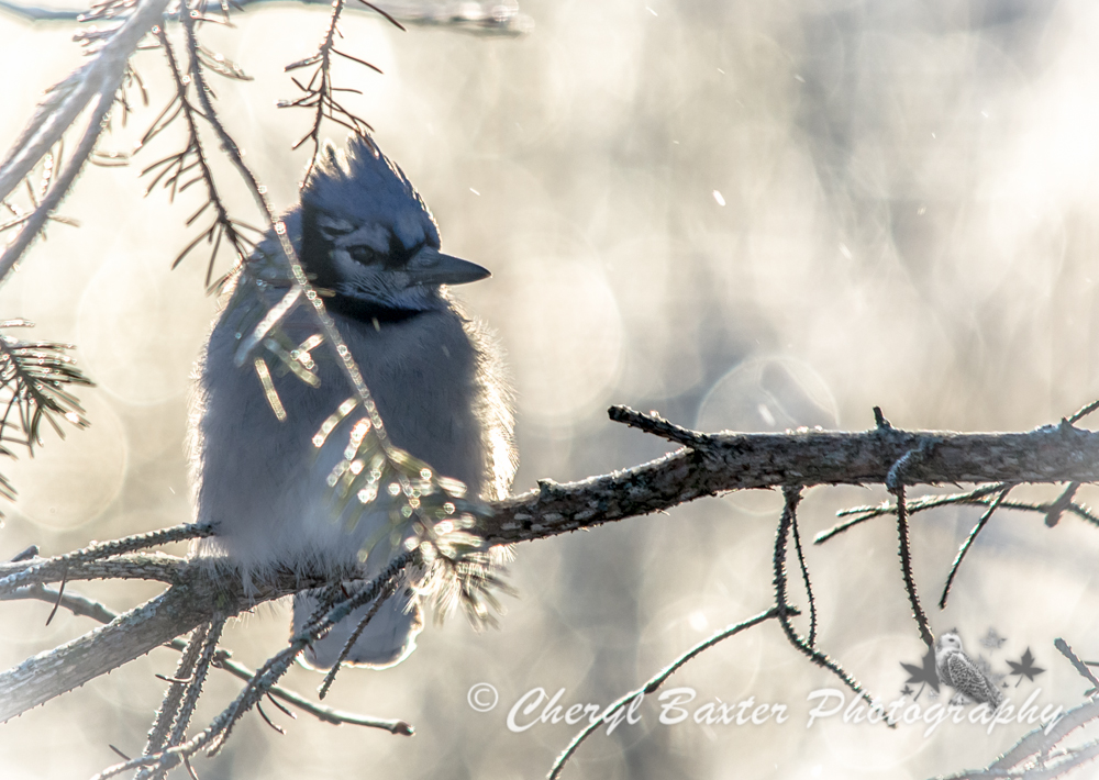 Blue Jay after the ice storm (my yard)