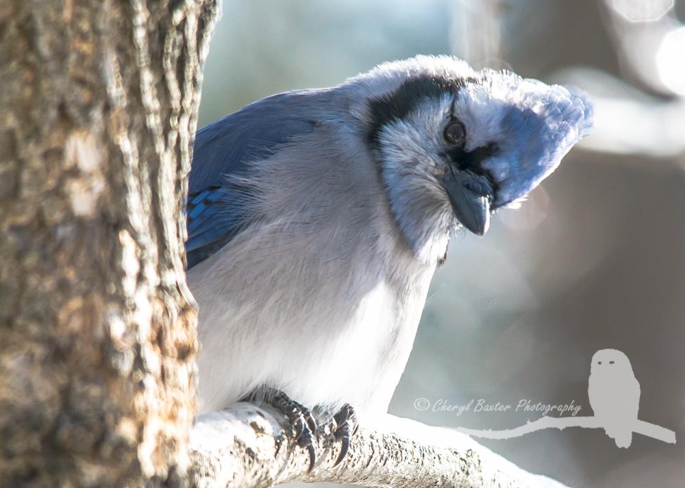 Blue Jay (my yard)