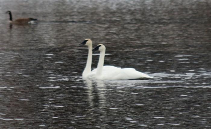 Tundra Swans 1