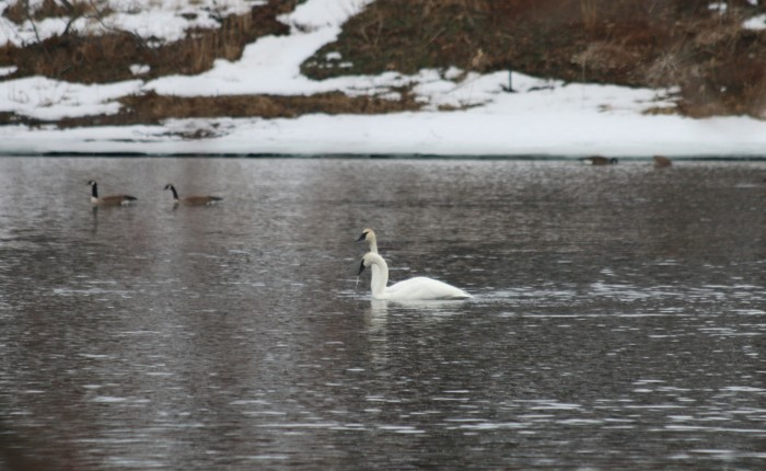 Tundra Swans 2