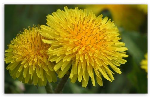 dandelion_flowers_2-t2
