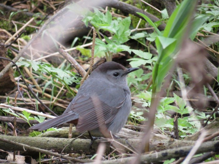 BIRDS Gray Catbird Harold Robinson