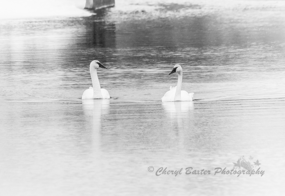 Trumpeter Swans March 30