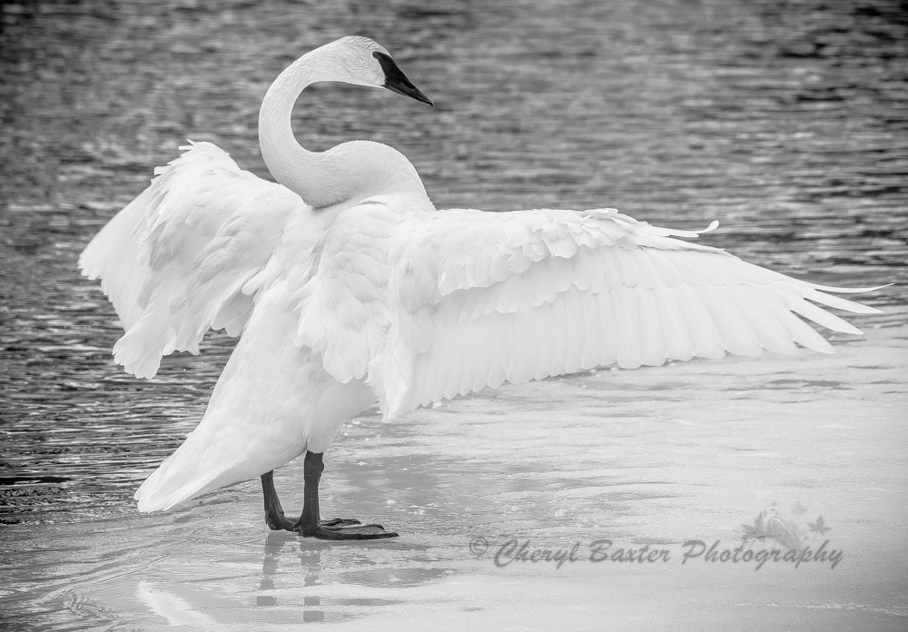 Trumpeter Swan March 30