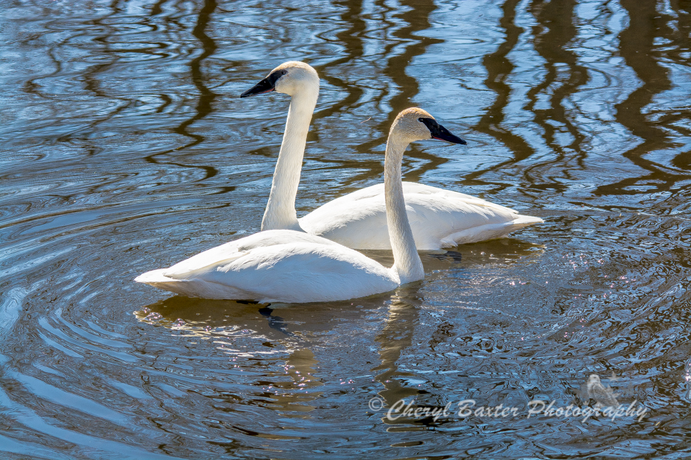 Trumpeter Swans March 31