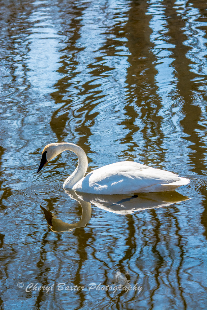 Trumpeter Swan March 31