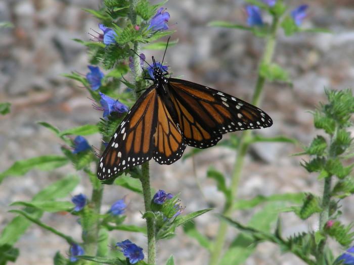 Photo 2 Monarch by Ken Allison