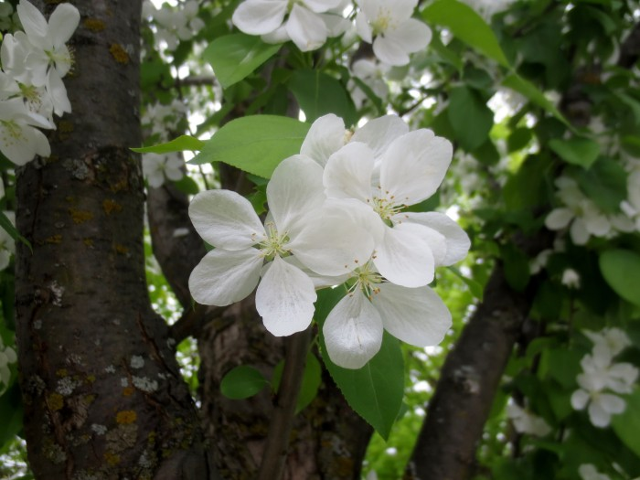 Post Office Flowering Trees 1 May 15 2015