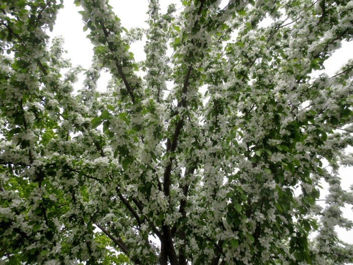 Post Office Flowering  Trees 3 May 15 2015