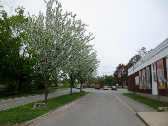 Post Office Flowering  Trees 4 May 15 2015