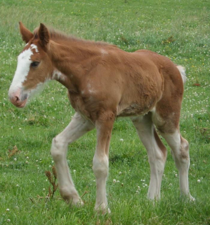 rotated foal