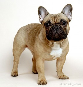 French-Bulldog-4