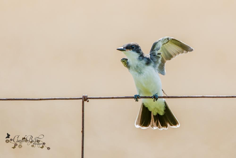 Eastern Kingbird near Almonte