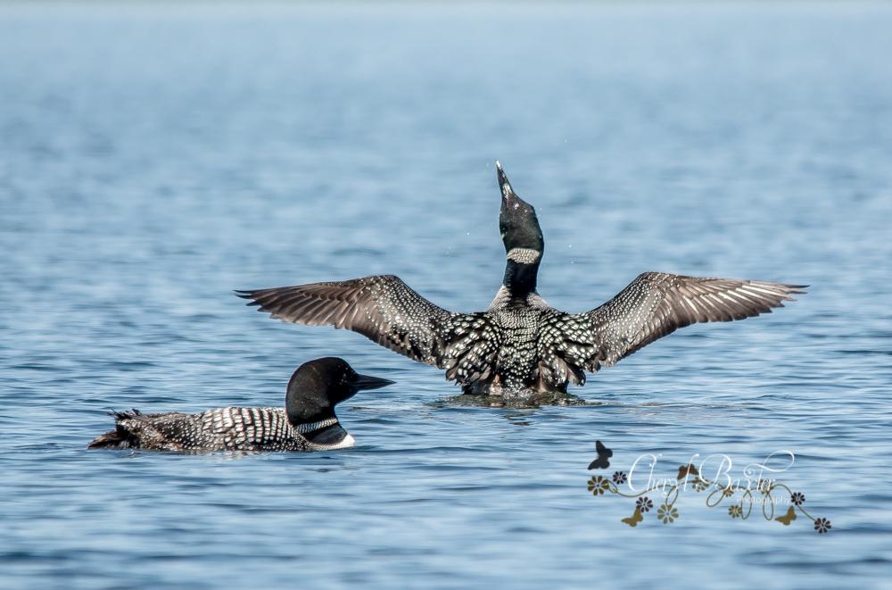 Clayton Lake Loons