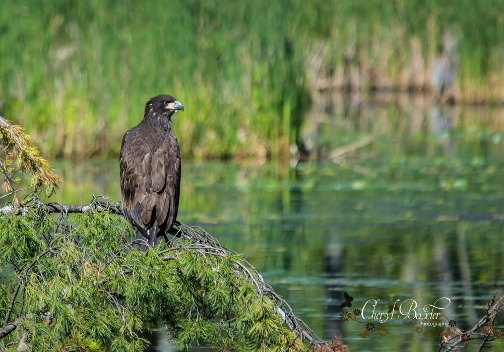Juvenile Bald Eagle Shaw Woods