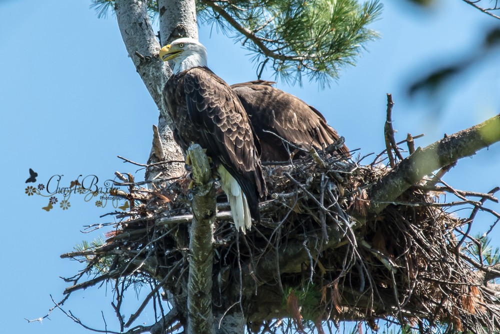 Adult Bald Eagle Shaw Woods
