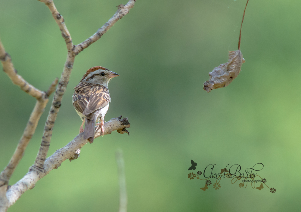 Chipping Sparrow Almonte
